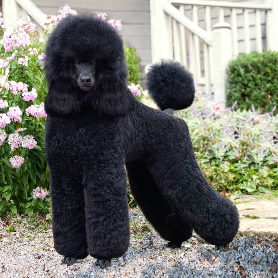 Theory Poodles