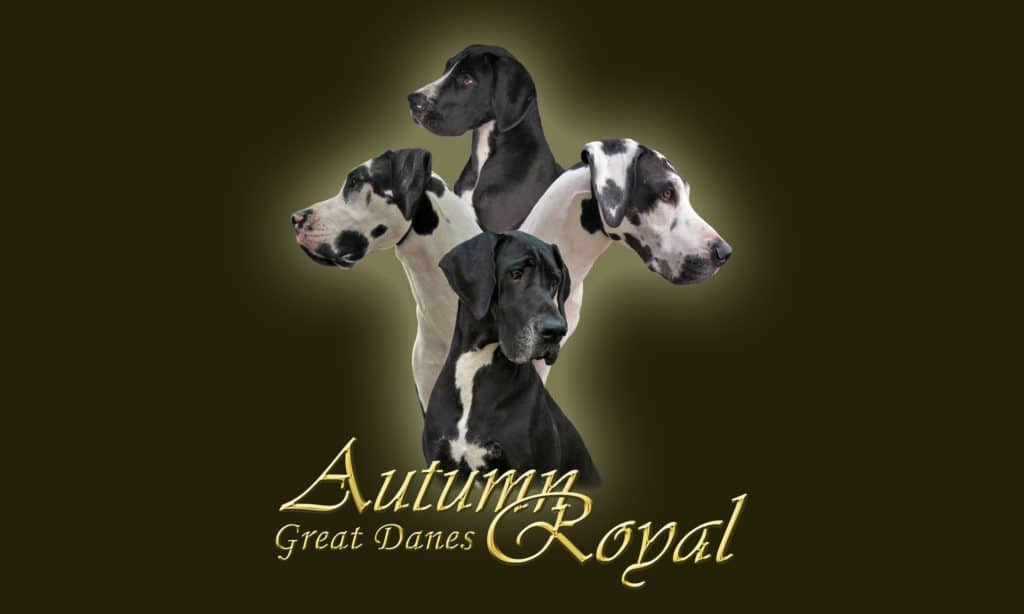 Autumn Royal Great Danes