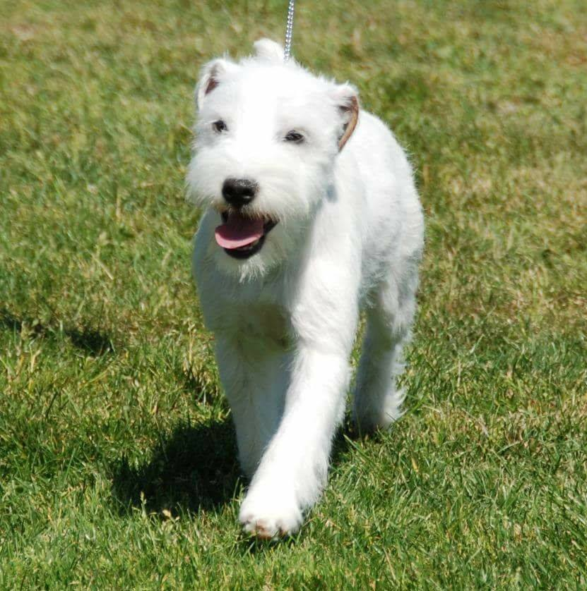 Goodwin Terriers